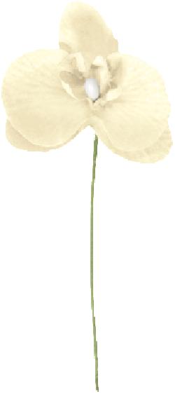 ORCHIDEE 5 x 10CM IVOIRE/6*